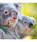 Wall calendar Koalas 2020