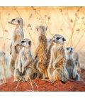 Wall calendar Meerkats 2020