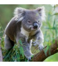 Wall calendar Koalas 2021