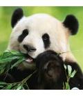 Wall calendar Pandas 2022