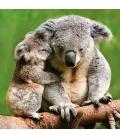 Wall calendar Koalas 2022